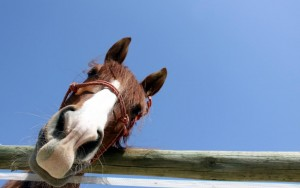 horse_look_hd_widescreen_wallpapers_1680x1050-1024x640